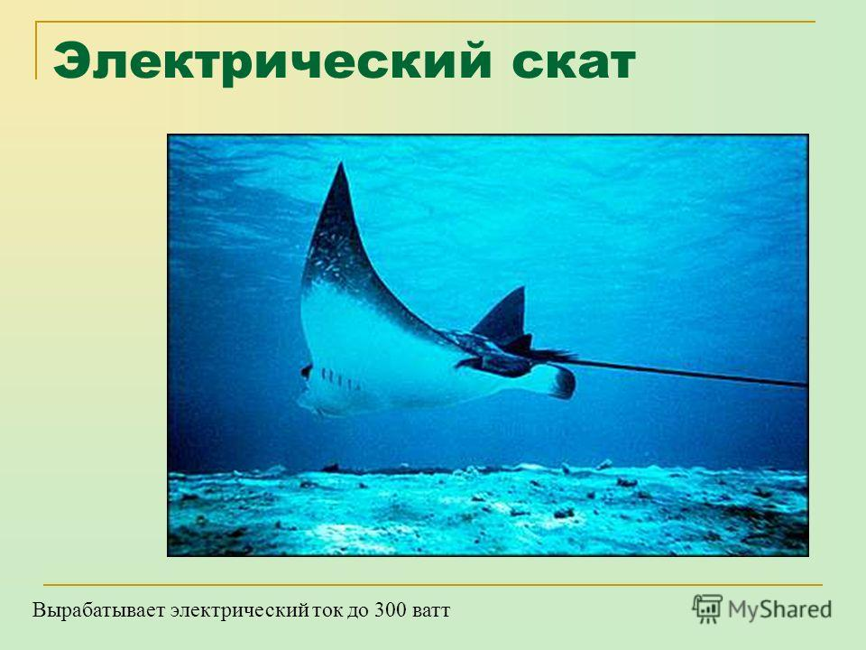 Китовая акула Самая крупная в мире рыба - это китовая акула, питающаяся планктоном. Самый крупный экземпляр имел 12,65 м в длину