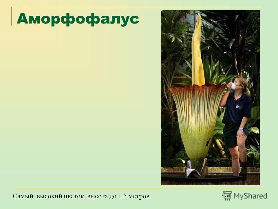 Карликовая береза Самое маленькое дерево – высота до 1 метра.