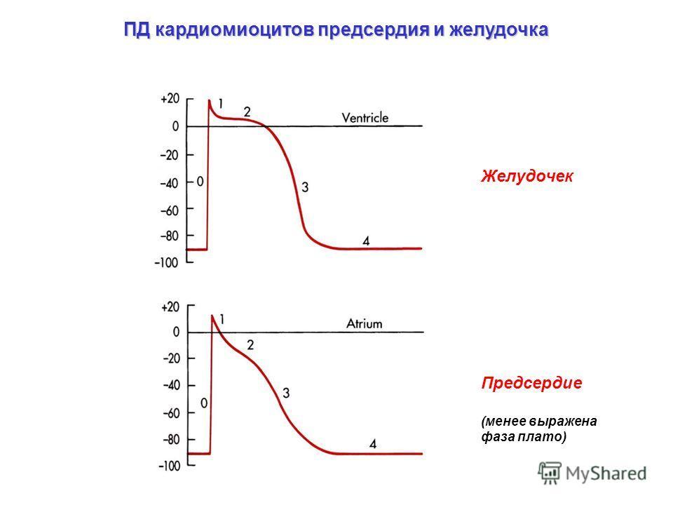 ПД кардиомиоцитов предсердия и желудочка Желудочек Предсердие (менее выражена фаза плато)