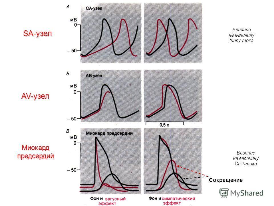 SA-узел AV-узел Миокард предсердий Сокращение Влияние на величину funny-тока Влияние на величину Са 2+ -тока