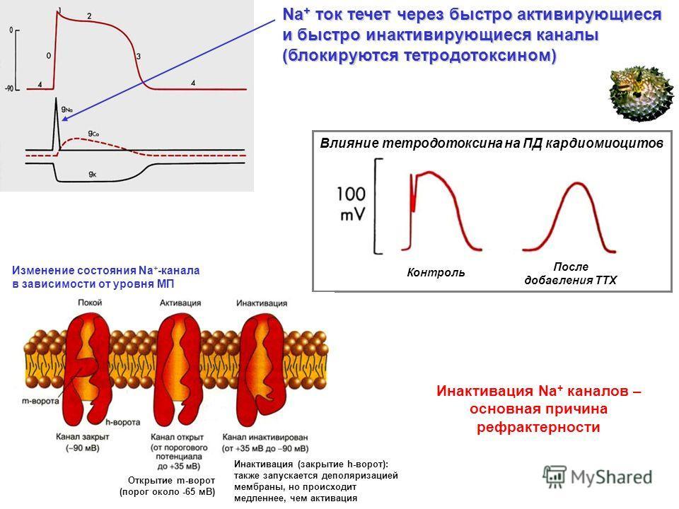 Na + ток течет через быстро активирующиеся и быстро инактивирующиеся каналы (блокируются тетродотоксином) Влияние тетродотоксина на ПД кардиомиоцитов Контроль После добавления ТТХ Инактивация Na + каналов – основная причина рефрактерности Инактивация