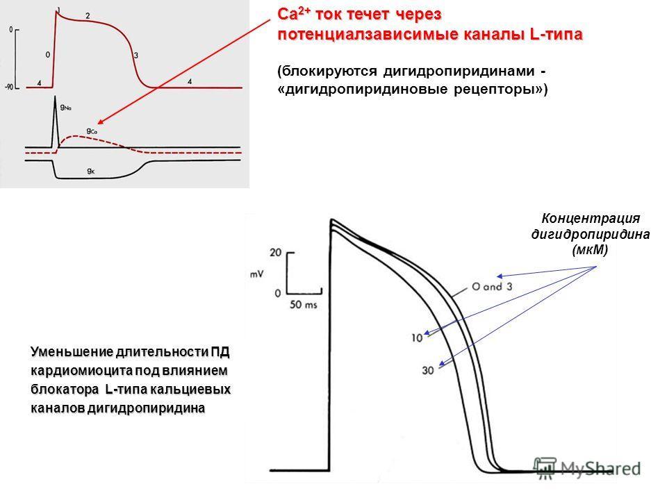 Уменьшение длительности ПД кардиомиоцита под влиянием блокатора L-типа кальциевых каналов дигидропиридина Концентрация дигидропиридина (мкМ) Сa 2+ ток течет через потенциалзависимые каналы L-типа (блокируются дигидропиридинами - «дигидропиридиновые р