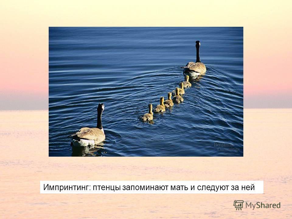 Импринтинг: птенцы запоминают мать и следуют за ней