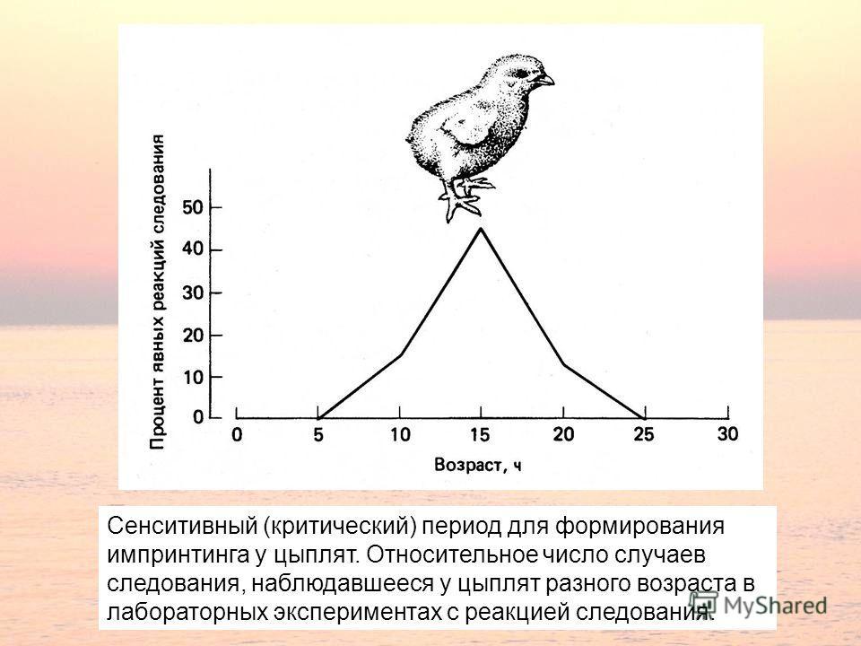 Сенситивный (критический) период для формирования импринтинга у цыплят. Относительное число случаев следования, наблюдавшееся у цыплят разного возраста в лабораторных экспериментах с реакцией следования.