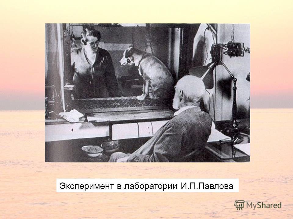 Эксперимент в лаборатории И.П.Павлова