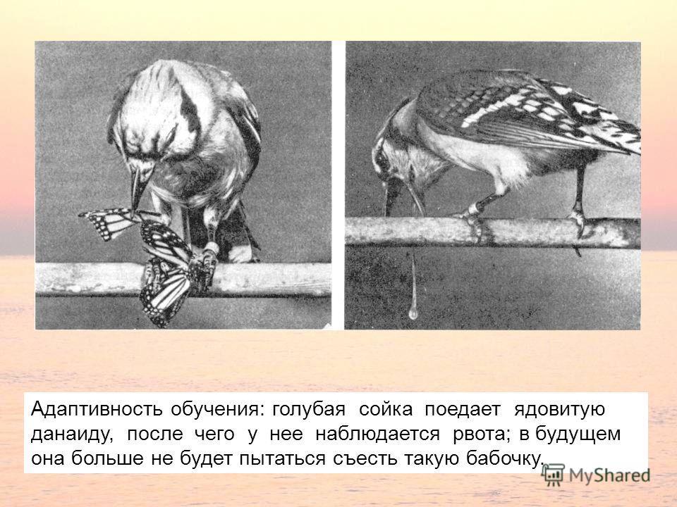 Адаптивность обучения: голубая сойка поедает ядовитую данаиду, после чего у нее наблюдается рвота; в будущем она больше не будет пытаться съесть такую бабочку.