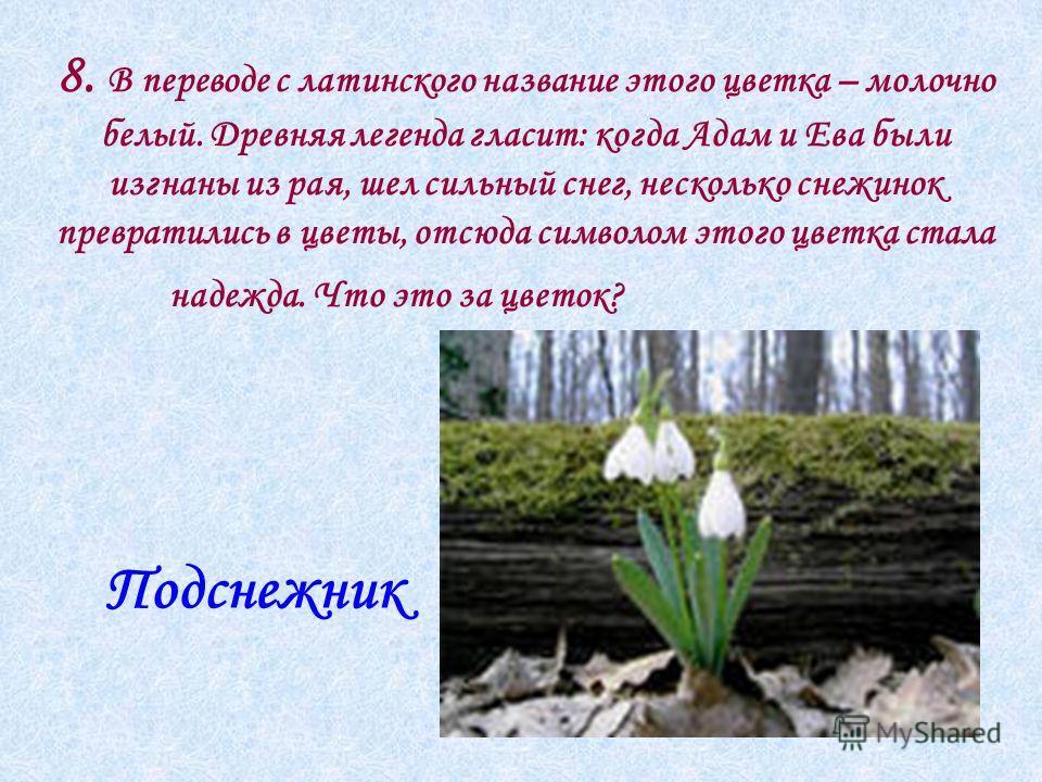 8. В переводе с латинского название этого цветка – молочно белый. Древняя легенда гласит: когда Адам и Ева были изгнаны из рая, шел сильный снег, несколько снежинок превратились в цветы, отсюда символом этого цветка стала надежда. Что это за цветок?