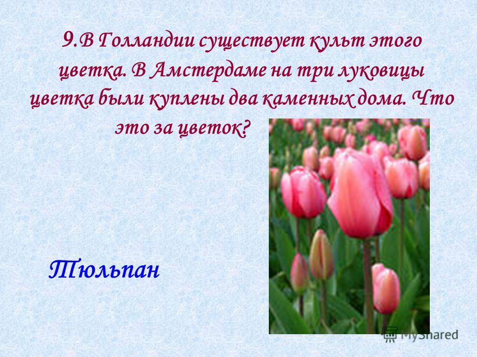 9.В Голландии существует культ этого цветка. В Амстердаме на три луковицы цветка были куплены два каменных дома. Что это за цветок? Тюльпан