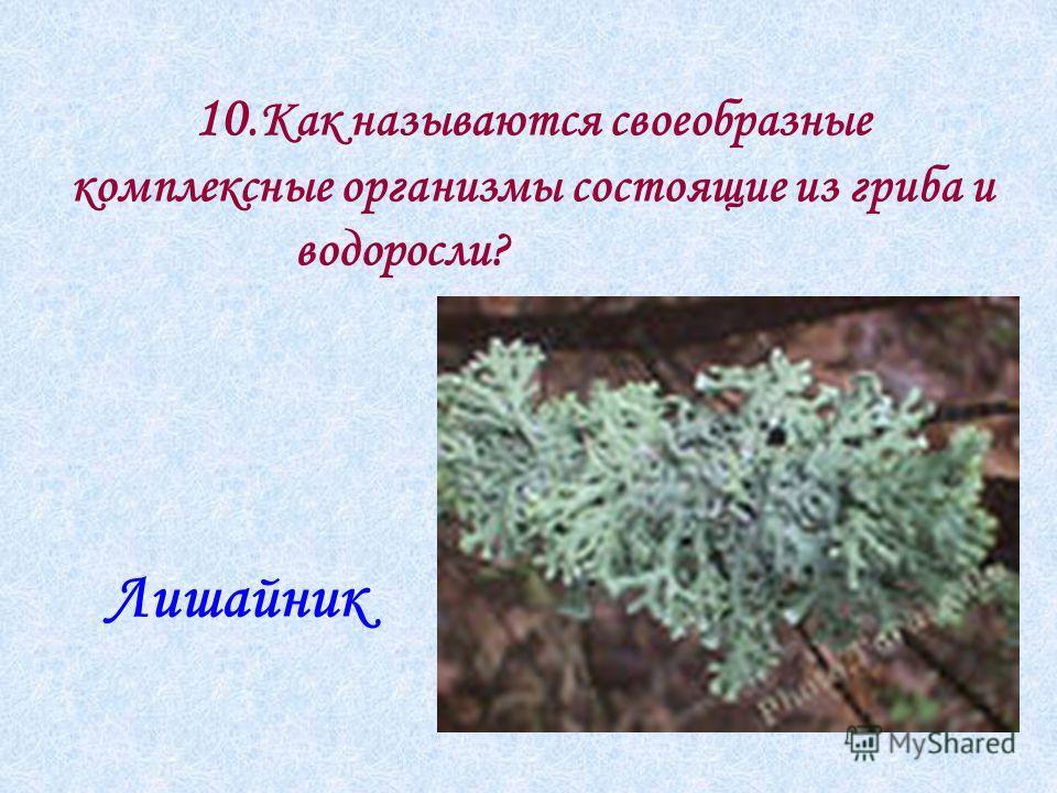 10.Как называются своеобразные комплексные организмы состоящие из гриба и водоросли? Лишайник