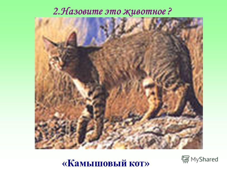 2.Назовите это животное ? «Камышовый кот»