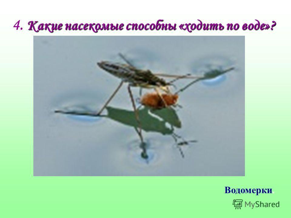 Какие насекомые способны «ходить по воде»? 4. Какие насекомые способны «ходить по воде»? Водомерки.