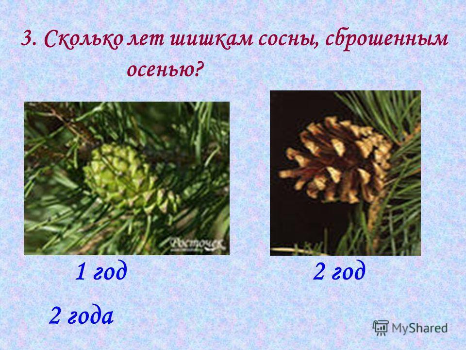 3. Сколько лет шишкам сосны, сброшенным осенью? 2 года 1 год2 год