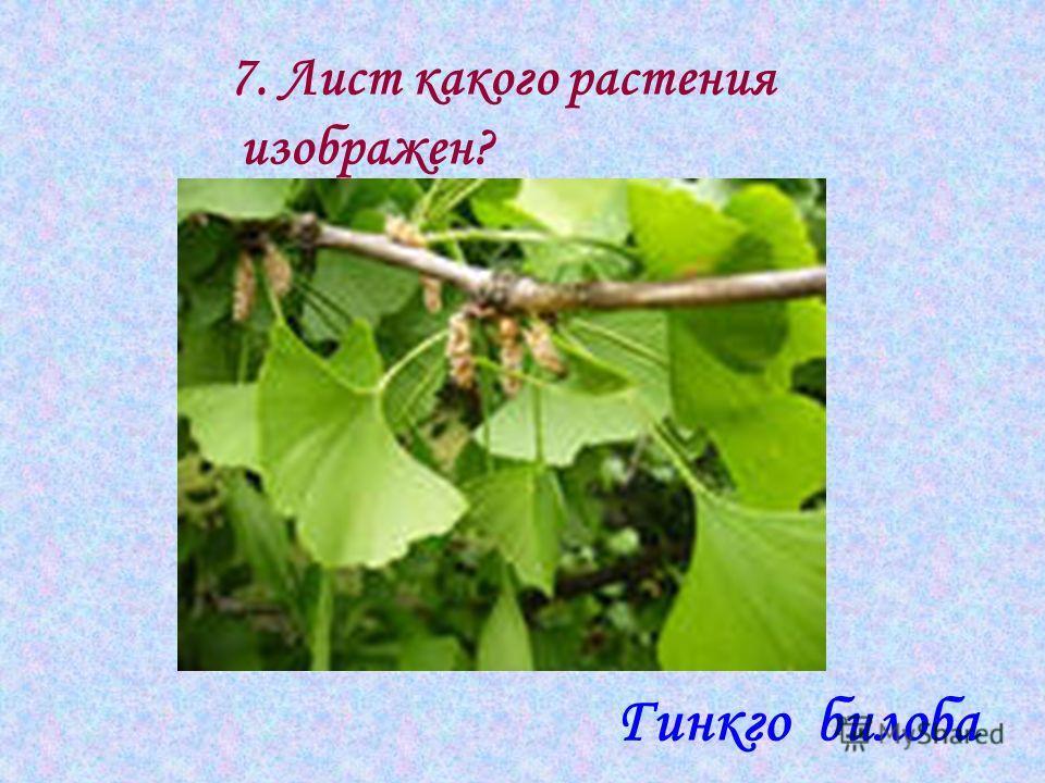 7. Лист какого растения изображен? Гинкго билоба