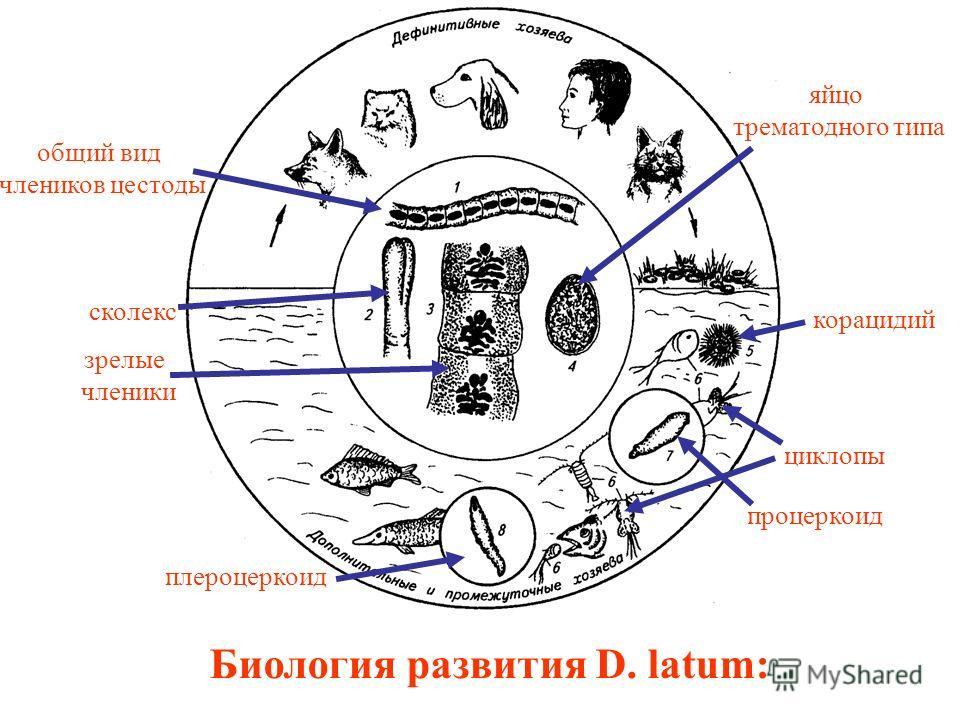 Биология развития D. latum: общий вид члеников цестоды сколекс зрелые членики яйцо трематодного типа корацидий циклопы процеркоид плероцеркоид