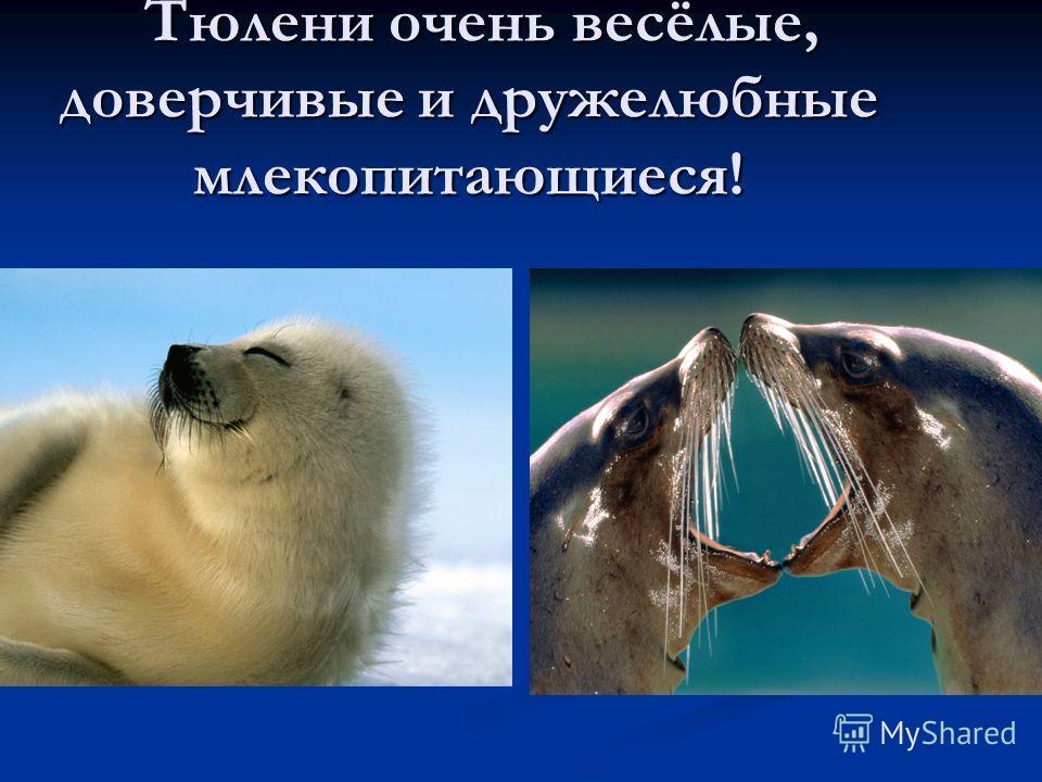 Тюлени очень весёлые, доверчивые и дружелюбные млекопитающиеся! Тюлени очень весёлые, доверчивые и дружелюбные млекопитающиеся!