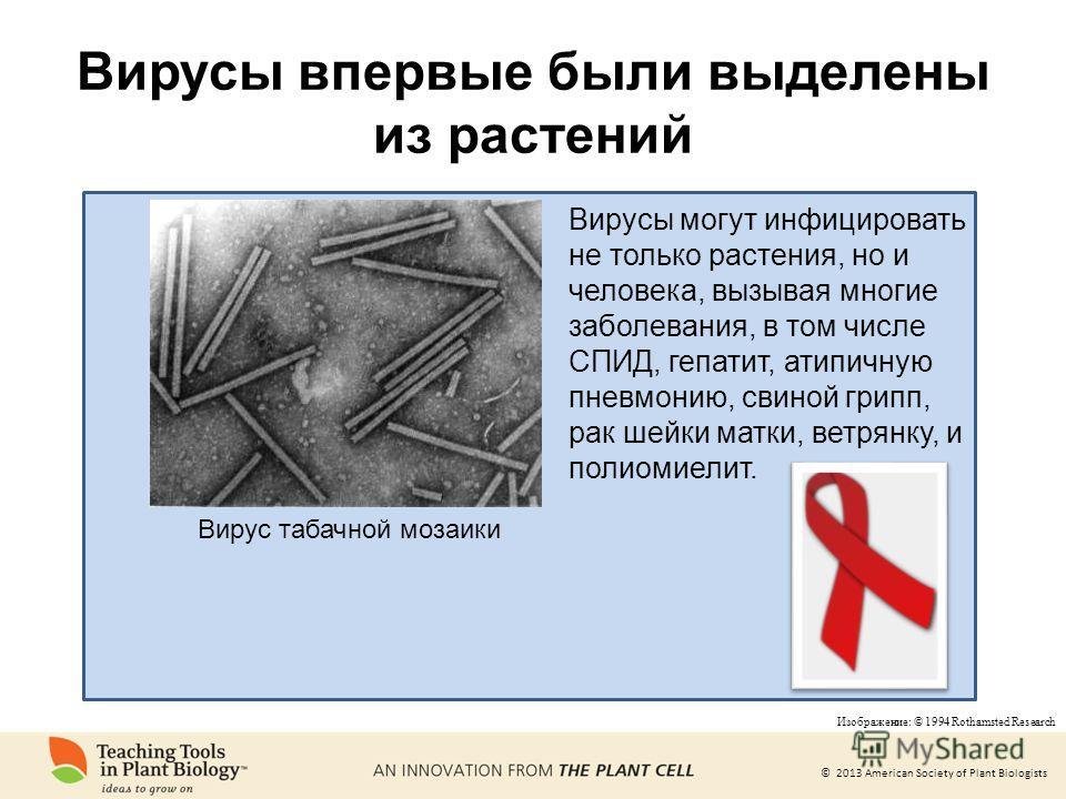 © 2013 American Society of Plant Biologists Вирусы впервые были выделены из растений Вирус табачной мозаики Вирусы могут инфицировать не только растения, но и человека, вызывая многие заболевания, в том числе СПИД, гепатит, атипичную пневмонию, свино