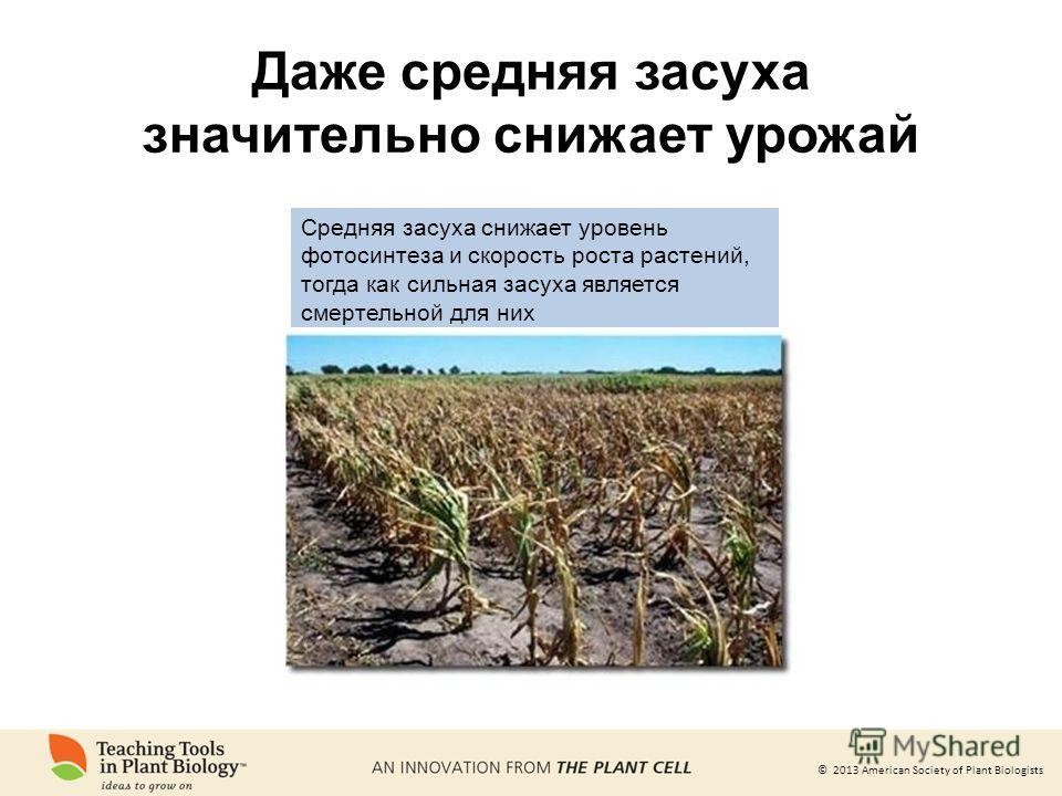 © 2013 American Society of Plant Biologists Даже средняя засуха значительно снижает урожай Средняя засуха снижает уровень фотосинтеза и скорость роста растений, тогда как сильная засуха является смертельной для них