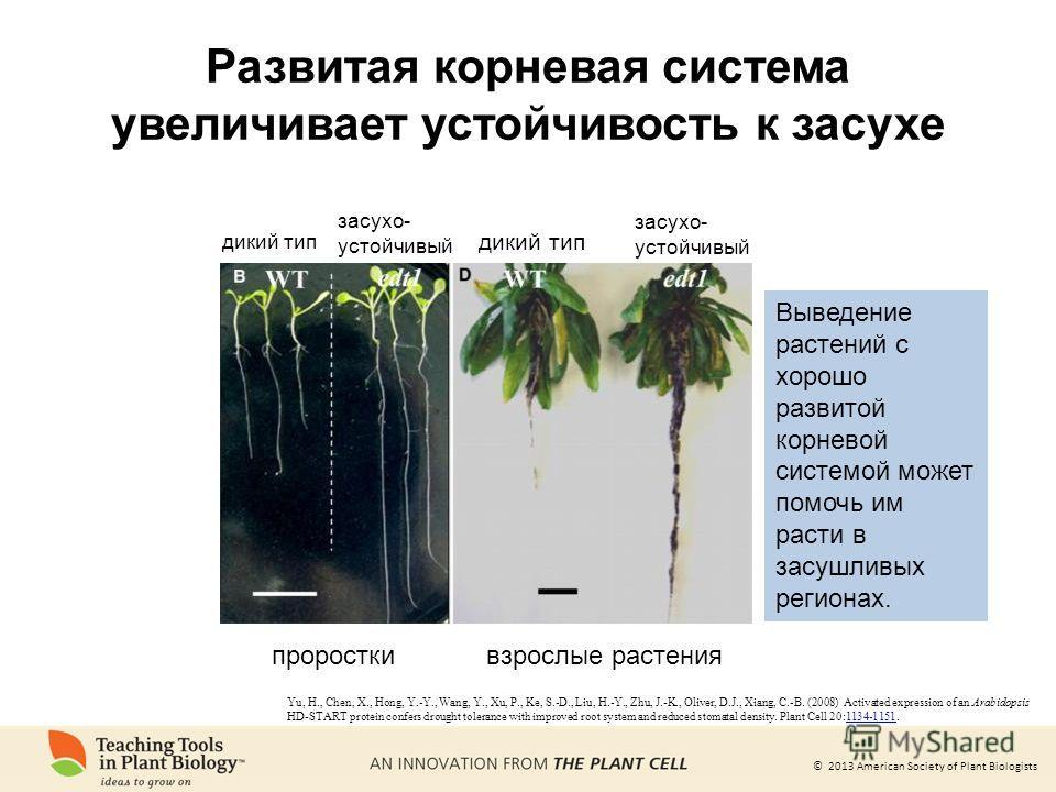 © 2013 American Society of Plant Biologists Развитая корневая система увеличивает устойчивость к засухе проросткивзрослые растения дикий тип засухо- устойчивый засухо- устойчивый Выведение растений с хорошо развитой корневой системой может помочь им