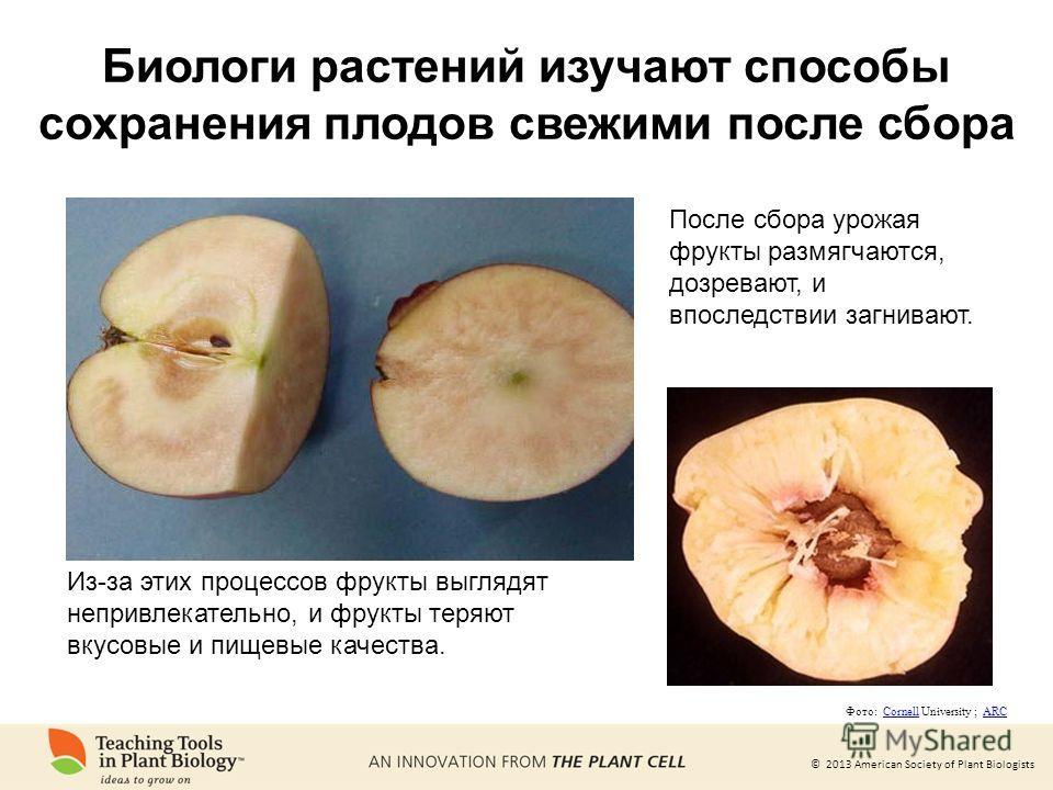 © 2013 American Society of Plant Biologists Биологи растений изучают способы сохранения плодов свежими после сбора После сбора урожая фрукты размягчаются, дозревают, и впоследствии загнивают. Из-за этих процессов фрукты выглядят непривлекательно, и ф