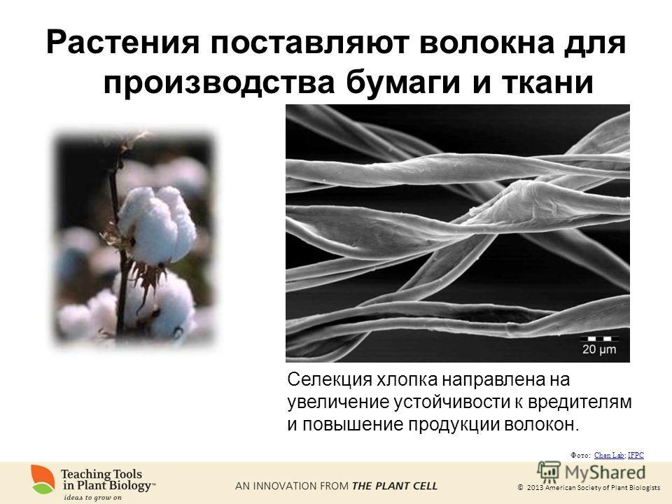 © 2013 American Society of Plant Biologists Растения поставляют волокна для производства бумаги и ткани Селекция хлопка направлена на увеличение устойчивости к вредителям и повышение продукции волокон. Фото: Chen Lab; IFPCChen LabIFPC