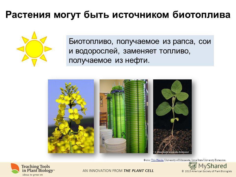 © 2013 American Society of Plant Biologists Фото: Tilo Hauke, University of Minnesota, Iowa State University Extension.Tilo Hauke Биотопливо, получаемое из рапса, сои и водорослей, заменяет топливо, получаемое из нефти. Растения могут быть источником