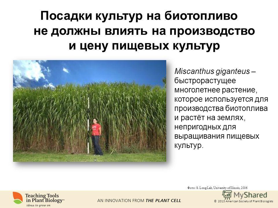 © 2013 American Society of Plant Biologists Miscanthus giganteus – быстрорастущее многолетнее растение, которое используется для производства биотоплива и растёт на землях, непригодных для выращивания пищевых культур. Фото: S. Long Lab, University of