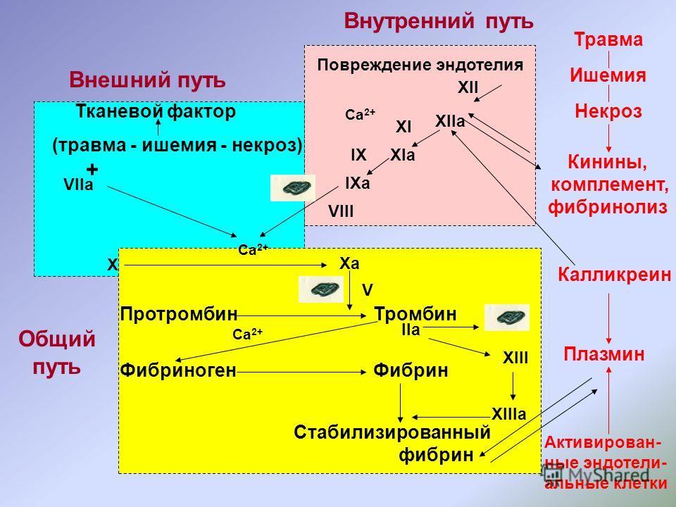 Повреждение эндотелия XII XIIа XIа IXа VIII IX Ca 2+ Внутренний путь Внешний путь Общий путь Тканевой фактор (травма - ишемия - некроз) VIIa + Ca 2+ X Xa V ПротромбинТромбин ФибриногенФибрин Ca 2+ IIа Стабилизированный фибрин XIII XIIIа Травма Ишемия