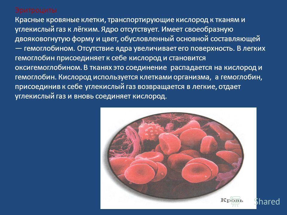 Эритроциты Красные кровяные клетки, транспортирующие кислород к тканям и углекислый газ к лёгким. Ядро отсутствует. Имеет своеобразную двояковогнутую форму и цвет, обусловленный основной составляющей гемоглобином. Отсутствие ядра увеличивает его пове