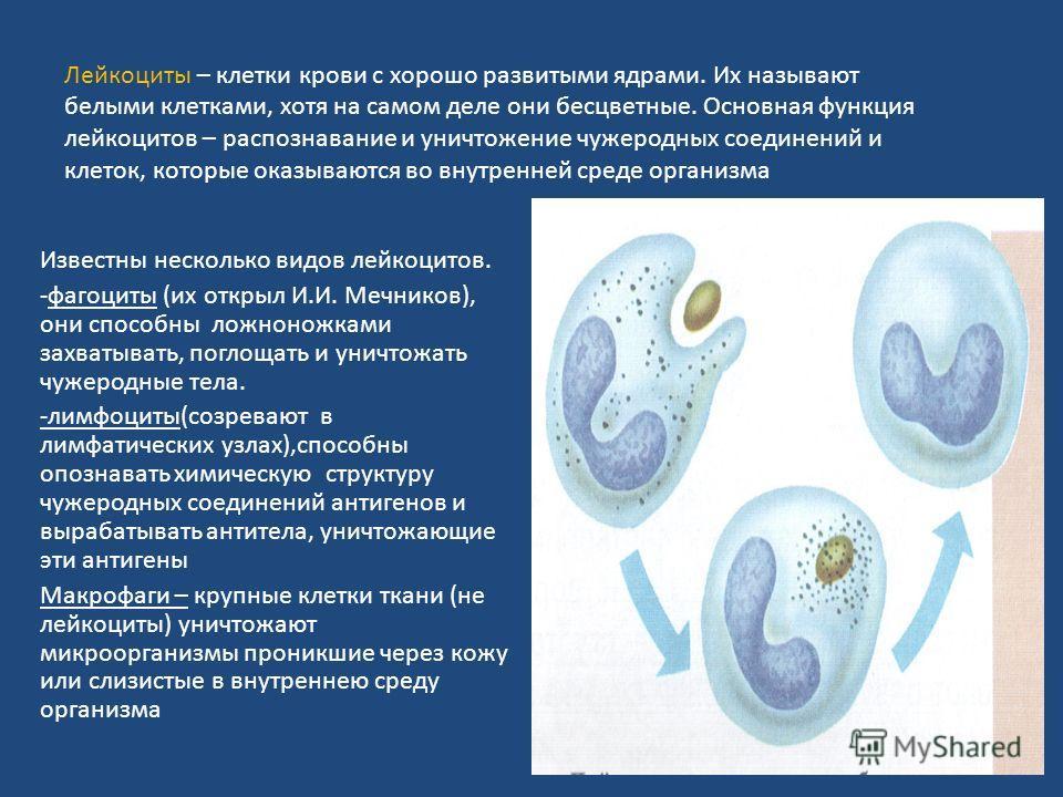 Лейкоциты – клетки крови с хорошо развитыми ядрами. Их называют белыми клетками, хотя на самом деле они бесцветные. Основная функция лейкоцитов – распознавание и уничтожение чужеродных соединений и клеток, которые оказываются во внутренней среде орга