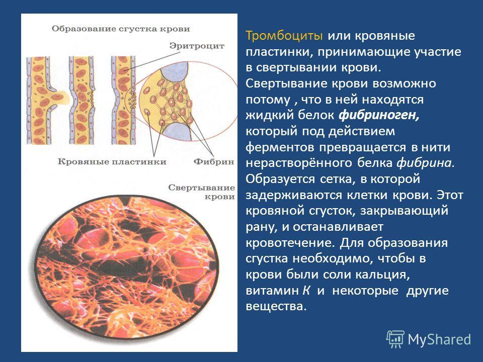 Тромбоциты или кровяные пластинки, принимающие участие в свертывании крови. Свертывание крови возможно потому, что в ней находятся жидкий белок фибриноген, который под действием ферментов превращается в нити нерастворённого белка фибрина. Образуется