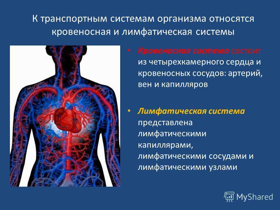 К транспортным системам организма относятся кровеносная и лимфатическая системы Кровеносная система состоит из четырехкамерного сердца и кровеносных сосудов: артерий, вен и капилляров Лимфатическая система представлена лимфатическими капиллярами, лим