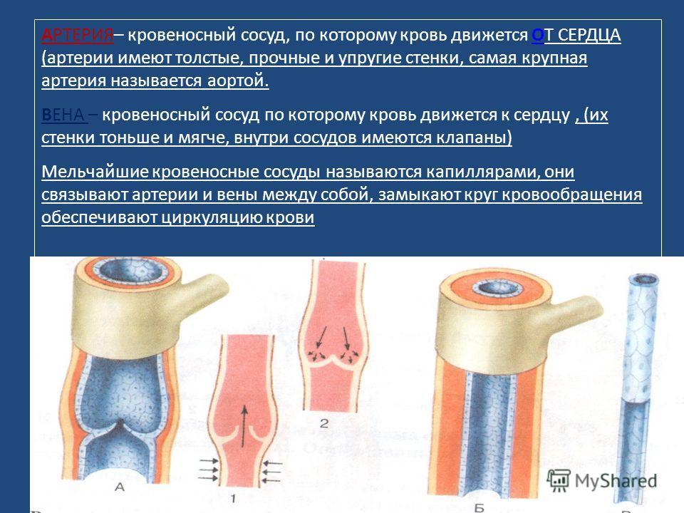35 АРТЕРИЯ– кровеносный сосуд, по которому кровь движется ОТ СЕРДЦА (артерии имеют толстые, прочные и упругие стенки, самая крупная артерия называется аортой. ВЕНА – кровеносный сосуд по которому кровь движется к сердцу, (их стенки тоньше и мягче, вн