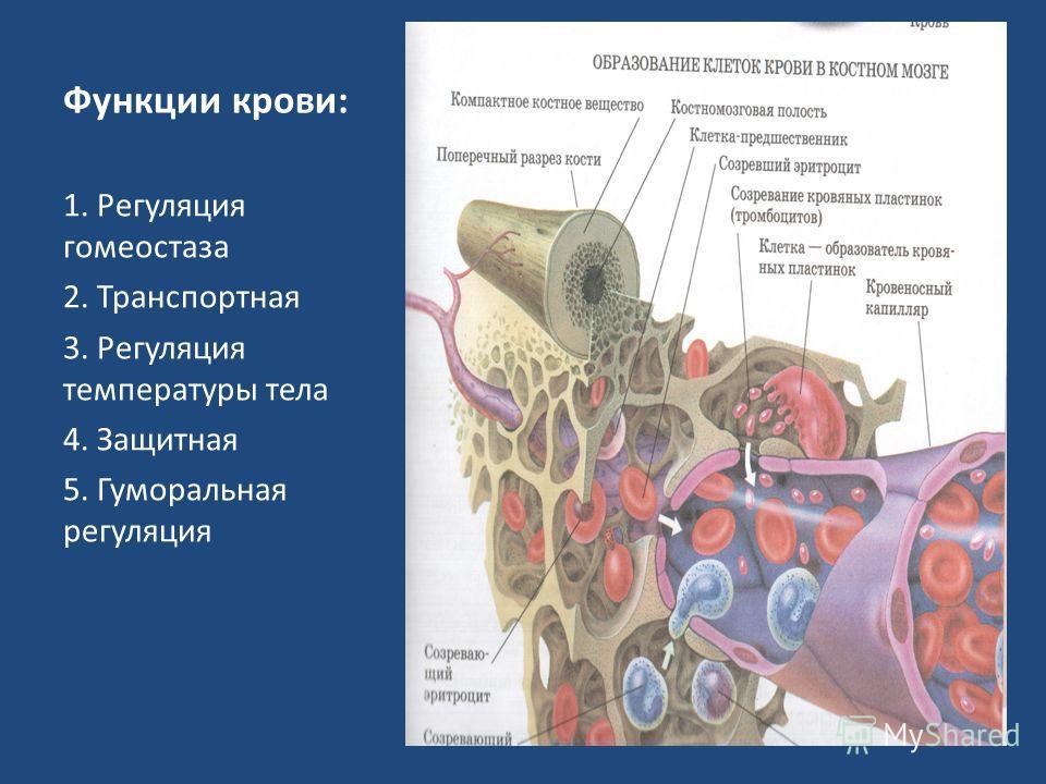 Функции крови: 1. Регуляция гомеостаза 2. Транспортная 3. Регуляция температуры тела 4. Защитная 5. Гуморальная регуляция
