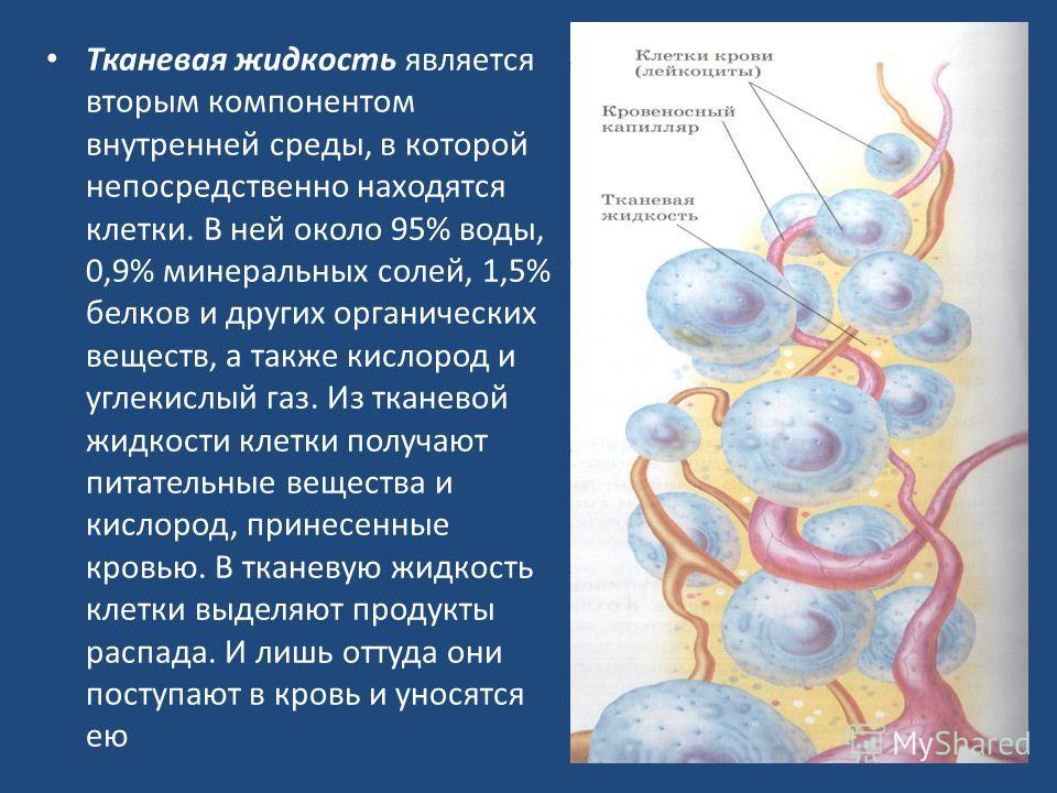 Тканевая жидкость является вторым компонентом внутренней среды, в которой непосредственно находятся клетки. В ней около 95% воды, 0,9% минеральных солей, 1,5% белков и других органических веществ, а также кислород и углекислый газ. Из тканевой жидкос