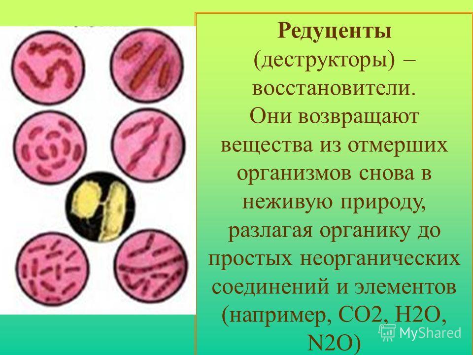 Редуценты (деструкторы) – восстановители. Они возвращают вещества из отмерших организмов снова в неживую природу, разлагая органику до простых неорганических соединений и элементов (например, СО2, Н2О, N2О)