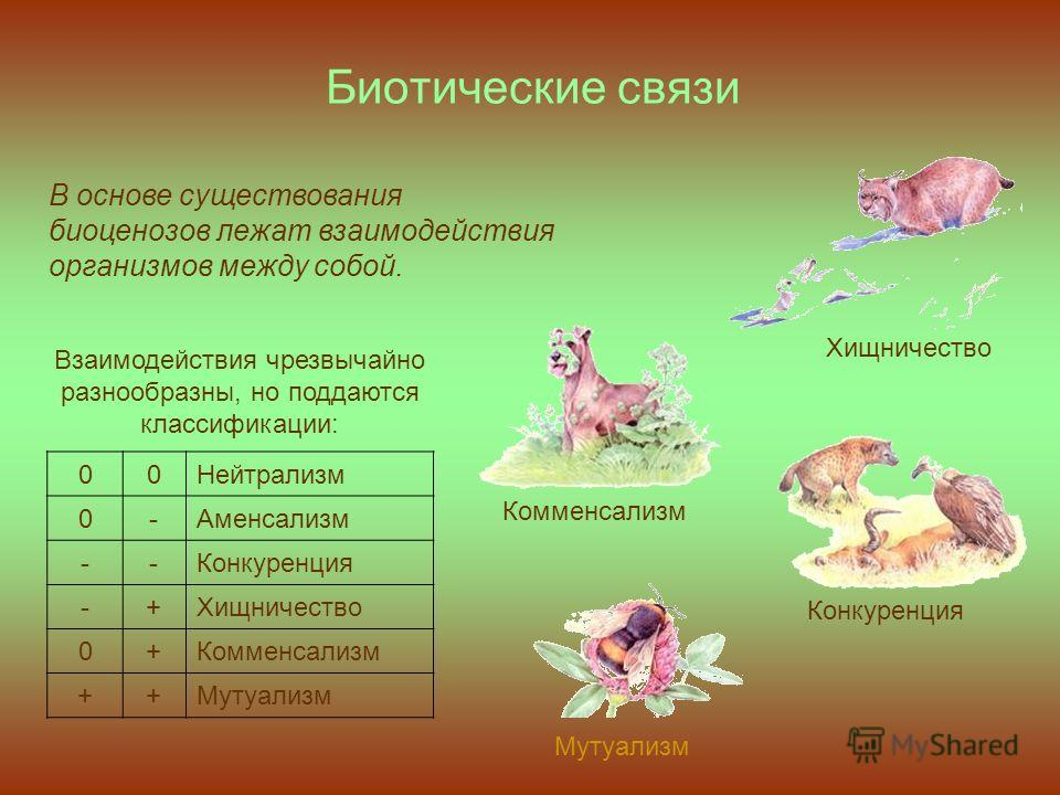Биотические связи 00Нейтрализм 0-Аменсализм --Конкуренция -+Хищничество 0+Комменсализм ++Мутуализм В основе существования биоценозов лежат взаимодействия организмов между собой. Взаимодействия чрезвычайно разнообразны, но поддаются классификации: Хищ