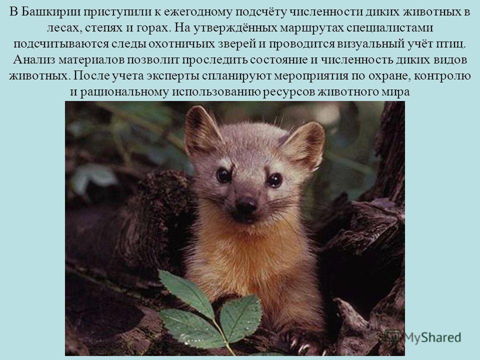 В Башкирии приступили к ежегодному подсчёту численности диких животных в лесах, степях и горах. На утверждённых маршрутах специалистами подсчитываются следы охотничьих зверей и проводится визуальный учёт птиц. Анализ материалов позволит проследить со
