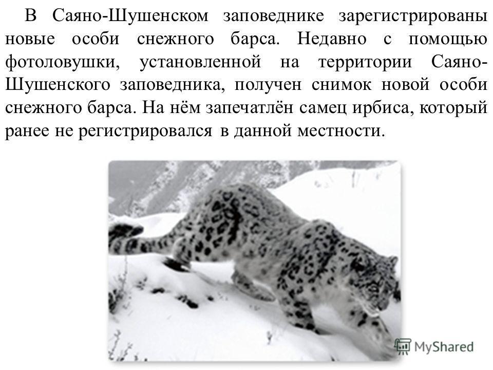 В Саяно-Шушенском заповеднике зарегистрированы новые особи снежного барса. Недавно с помощью фотоловушки, установленной на территории Саяно- Шушенского заповедника, получен снимок новой особи снежного барса. На нём запечатлён самец ирбиса, который ра