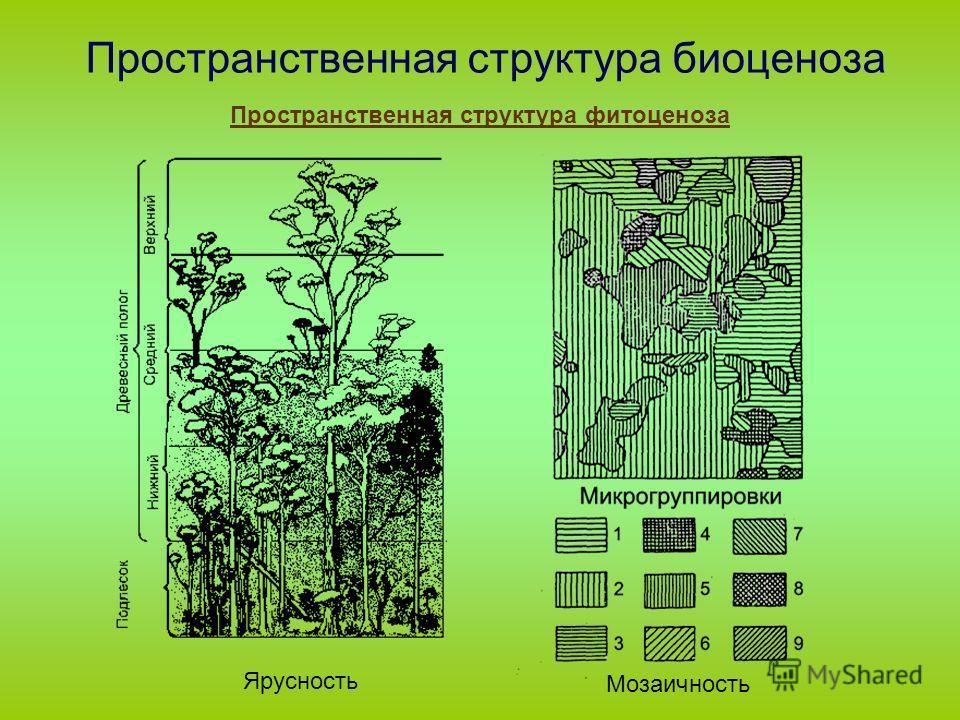 Пространственная структура биоценоза Пространственная структура фитоценоза Ярусность Мозаичность
