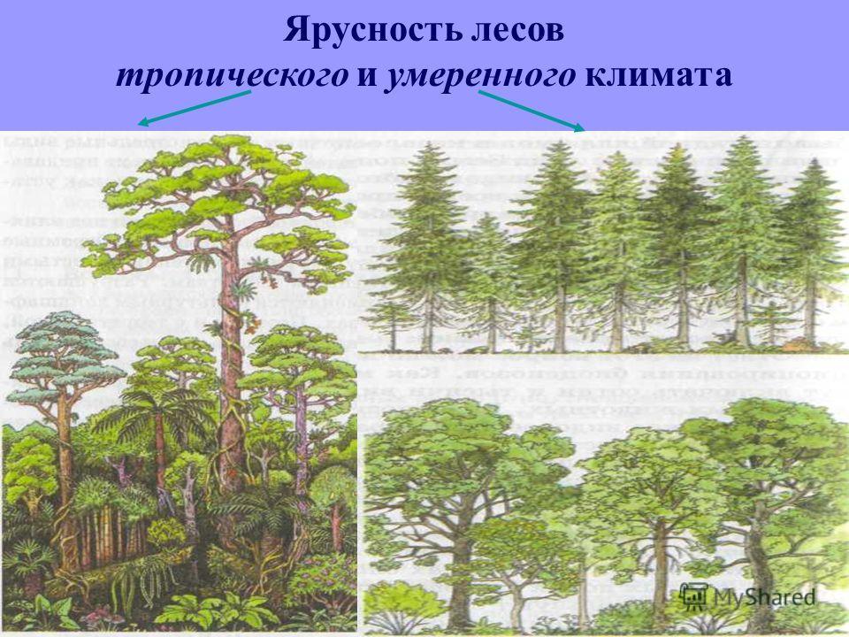 Ярусность лесов тропического и умеренного климата