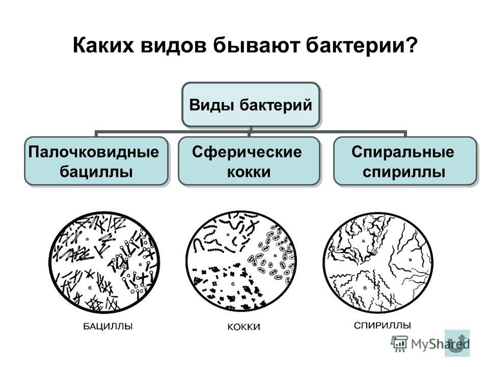 Каких видов бывают бактерии? Виды бактерий Палочковидные бациллы Сферические кокки Спиральные спириллы