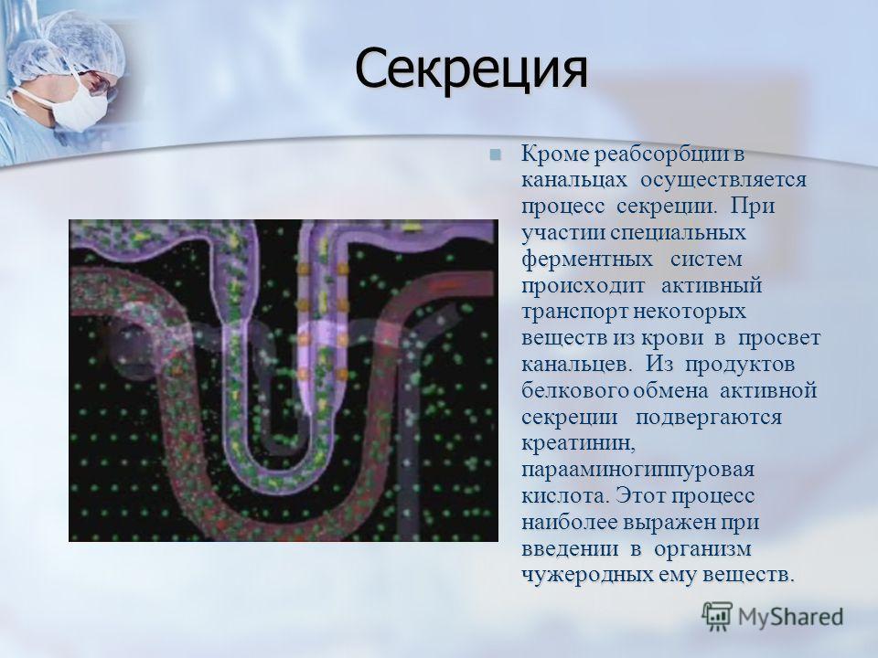 Секреция Кроме реабсорбции в канальцах осуществляется процесс секреции. При участии специальных ферментных систем происходит активный транспорт некоторых веществ из крови в просвет канальцев. Из продуктов белкового обмена активной секреции подвергают