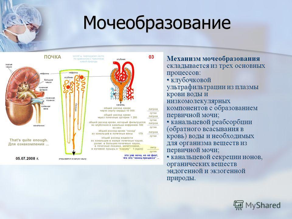 Мочеобразование Механизм мочеобразования складывается из трех основных процессов: клубочковой ультрафильтрации из плазмы крови воды и низкомолекулярных компонентов с образованием первичной мочи; канальцевой реабсорбции (обратного всасывания в кровь)