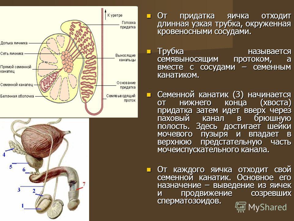 От придатка яичка отходит длинная узкая трубка, окруженная кровеносными сосудами. От придатка яичка отходит длинная узкая трубка, окруженная кровеносными сосудами. Трубка называется семявыносящим протоком, а вместе с сосудами – семенным канатиком. Тр