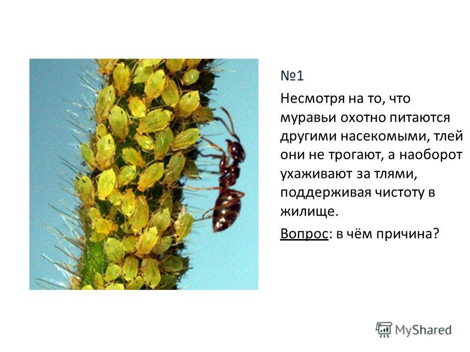 1 Несмотря на то, что муравьи охотно питаются другими насекомыми, тлей они не трогают, а наоборот ухаживают за тлями, поддерживая чистоту в жилище. Вопрос: в чём причина?