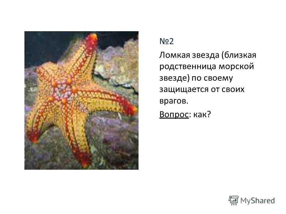 2 Ломкая звезда (близкая родственница морской звезде) по своему защищается от своих врагов. Вопрос: как?