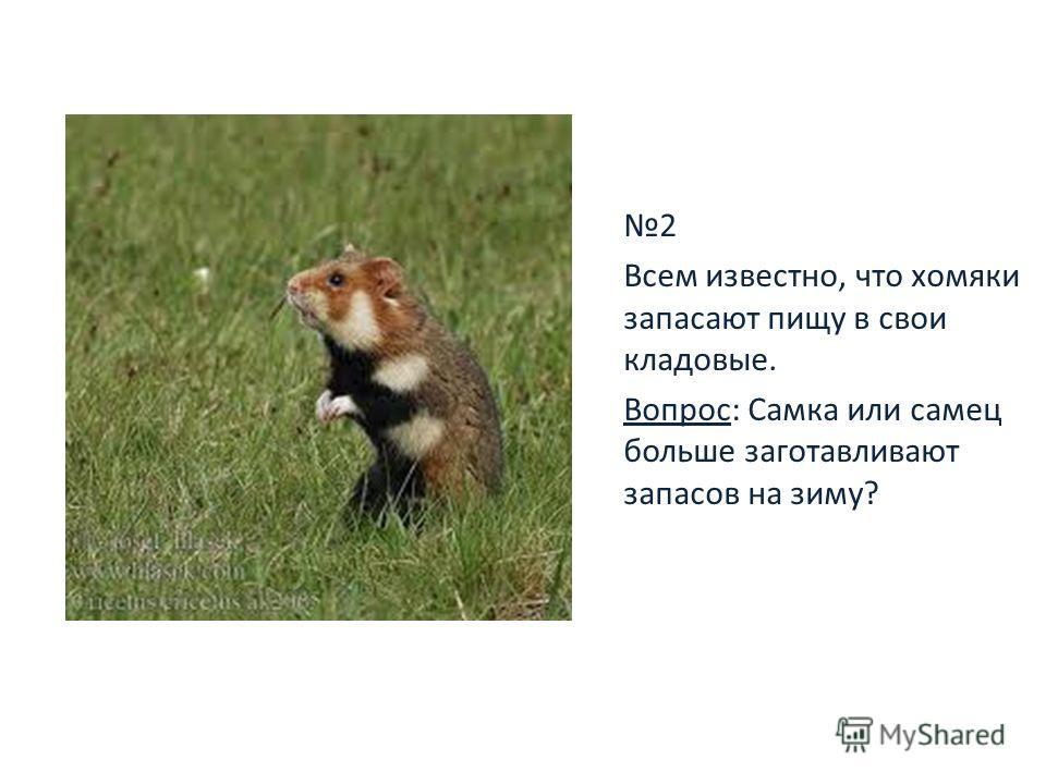 2 Всем известно, что хомяки запасают пищу в свои кладовые. Вопрос: Самка или самец больше заготавливают запасов на зиму?