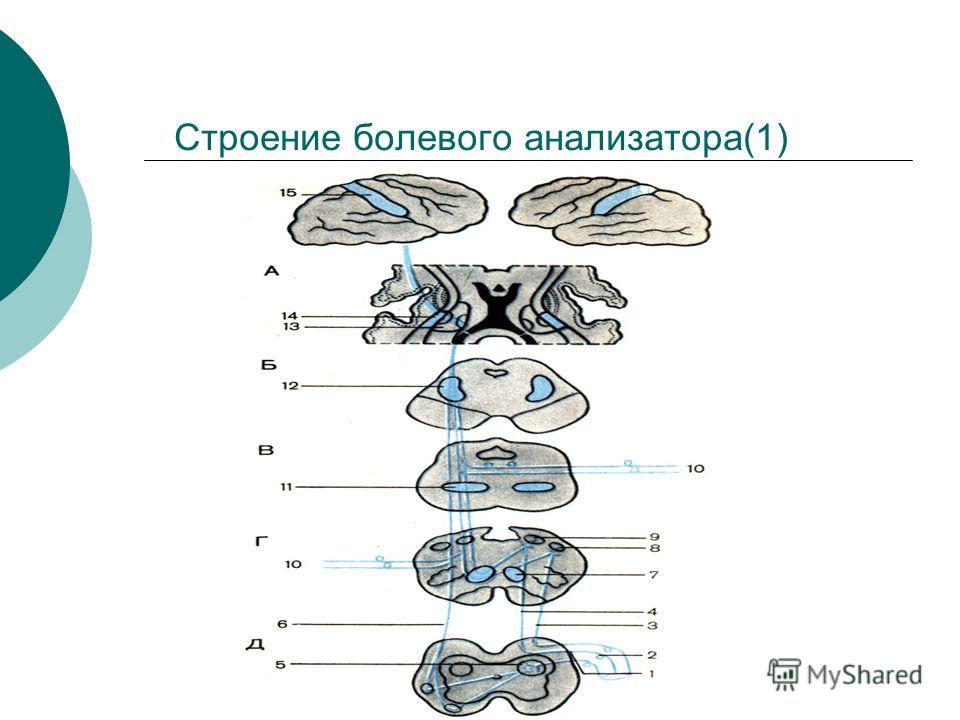 Строение болевого анализатора(1)