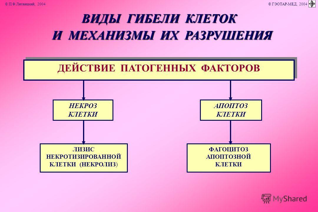 ДЕЙСТВИЕ ПАТОГЕННЫХ ФАКТОРОВ НЕКРОЗ КЛЕТКИ АПОПТОЗ КЛЕТКИ ЛИЗИС НЕКРОТИЗИРОВАННОЙ КЛЕТКИ (НЕКРОЛИЗ) ФАГОЦИТОЗ АПОПТОЗНОЙ КЛЕТКИ ВИДЫ ГИБЕЛИ КЛЕТОК И МЕХАНИЗМЫ ИХ РАЗРУШЕНИЯ И МЕХАНИЗМЫ ИХ РАЗРУШЕНИЯ © П.Ф.Литвицкий, 2004 © ГЭОТАР-МЕД, 2004