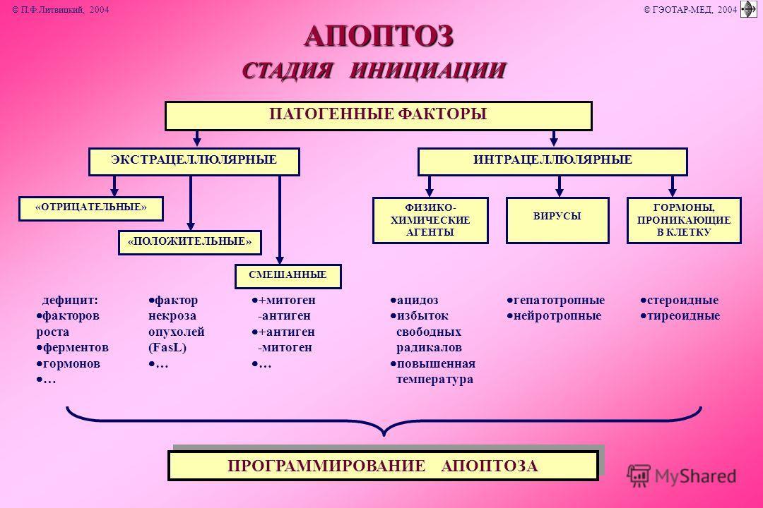 СМЕШАННЫЕ «ПОЛОЖИТЕЛЬНЫЕ» ФИЗИКО- ХИМИЧЕСКИЕ АГЕНТЫ «ОТРИЦАТЕЛЬНЫЕ» СТАДИЯ ИНИЦИАЦИИ АПОПТОЗ ПРОГРАММИРОВАНИЕ АПОПТОЗА дефицит: факторов роста ферментов гормонов … фактор некроза опухолей (FasL) … +митоген -антиген +антиген -митоген … ацидоз избыток